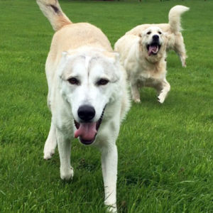 Dogs running at Glyndale Kennels and Cattery