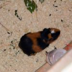 Glyndale Kennels and Cattery - Guinea Pigs