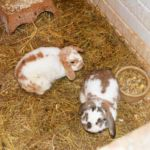 Glyndale Kennels and Cattery - Rabbits